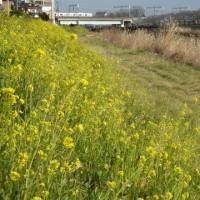 水ぬるむ綾瀬川堤防に季節を感じる