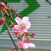 オカメ桜様、咲き始める