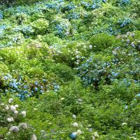 護摩堂山のあじさいは今頃咲き誇っていることでしょう。