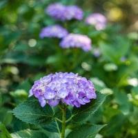伯耆古代の丘公園の紫陽花