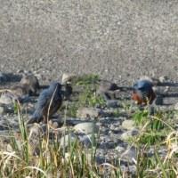 今朝の散歩 鳥と島
