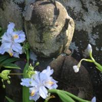 シャガの花が見頃
