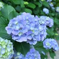 空梅雨の月照寺の紫陽花