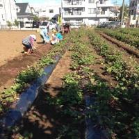 安納芋の収穫