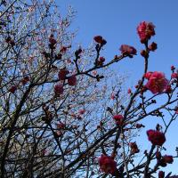 梅~は咲い~たか~♪