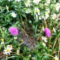 道端の野菊とノアザミ