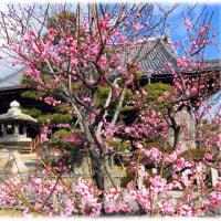春本番の暖かさ(^^♪春が来た 春が来た どこに来た。富田本照寺の「梅」