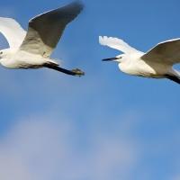 2月14日  シラサギ飛翔