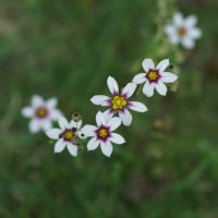 庭石菖 (花 4429)