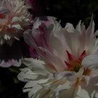 大きな花が今年も開花