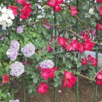 富山県植物指導センター5/30散歩中の花など