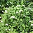 パンセの庭で咲く花  オカトラノオ