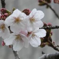 2017桜 (その二) 横浜 必塗マン