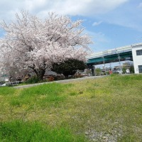 4月12日(水) 職場の桜