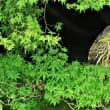 今日の野鳥   ゴイサギの捕食 ・ ホシゴイ