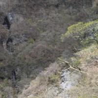 赤城のアカヤシオ