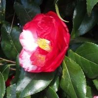 散歩道に咲いた椿:卜伴と岩根絞り