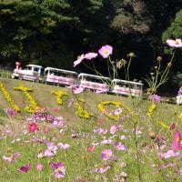 2016年(横須賀)くりはま花の国 コスモス ①