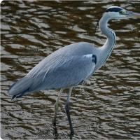 川辺の鳥たち