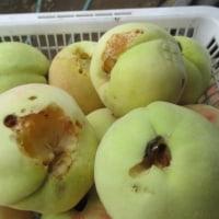 虫に食べられた桃。