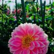 菊が満開〜( ´∀`)