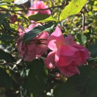 薔薇の お花と 堆肥まき