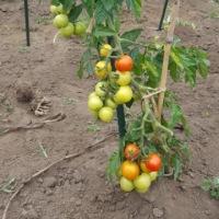 メークイン収穫と娘の庭の菜園の様子