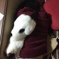 くーさん、お兄ちゃんの上で眠る