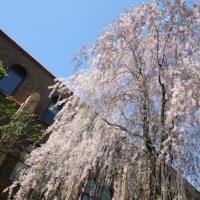 春の札幌ひとり旅3日間・北大キャンパスに咲く満開の八重桜・枝垂れ桜を撮る!!
