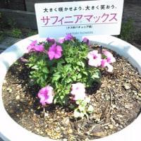 観音山ファミリーパーク サフィニアマックスの手入れ作業③