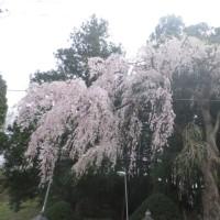 一時帰国2017 - 4 ( 故郷の桜 )