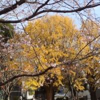 コスモスじゃない秋桜「アキザクラ」