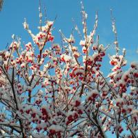 山茱萸:サンシュユ(雪を頂く冬珊瑚) 1月16日