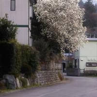 木蓮の咲く道