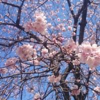 大寒桜が咲きました♪