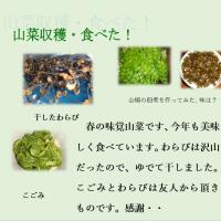 山菜収穫そして食べる