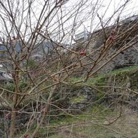 棚田の宇宙桜