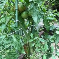 その後のトマト