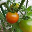 朝早く恥じらい色のトマトかな