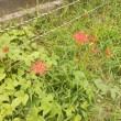 彼岸花(曼珠沙華)開花
