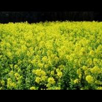 菜の花(*^▽^*)