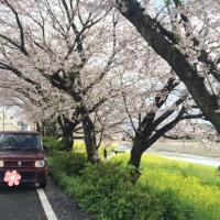 ラパンちゃんと行く!〜桜並木〜