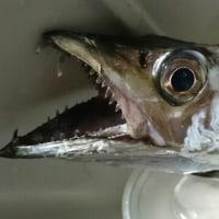 太刀魚GET❤