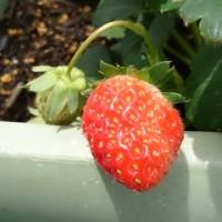 1粒の苺・・・☆