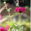 百日草と黄揚羽