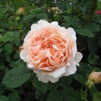 1827話 春咲きバラ 満開