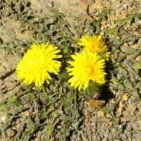 ロゼット葉のセイヨウタンポポに花