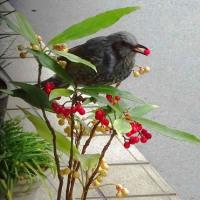 ヒヨドリ、カラタチバナの実を食す