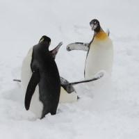 ペンギン散歩連続写真・旭山1