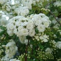 モッコウバラとコデマリの花(#^.^#)